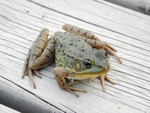 Frog on the Dock